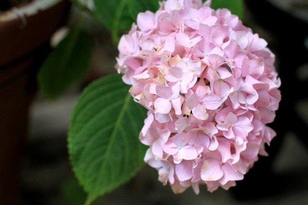 A light pink hydrangea bloom.