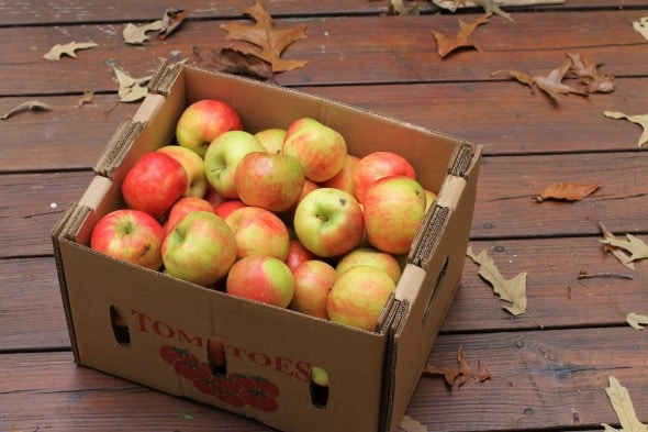 My box of bruised apples, which were almost entirely edible. Oh yes.