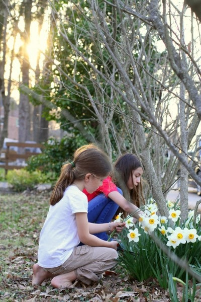 picking spring daffodils