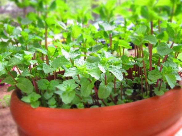 Mint plants growing in a terracotta pot.