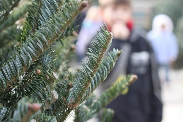 christmas tree branch detail shot