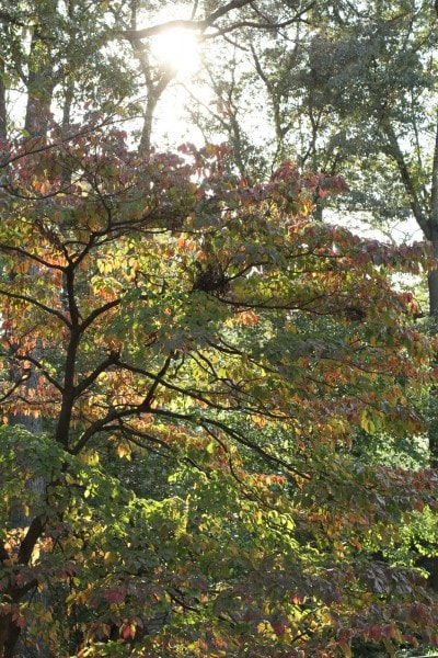 dogwood tree fall colors