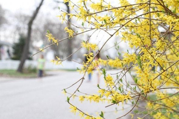 blooming forsythia.