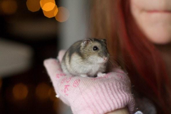 hamster huckle