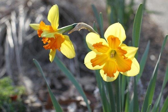 Two orange and yellow daffodils.