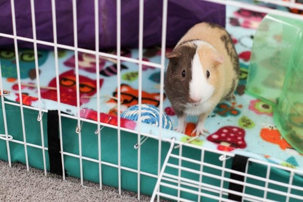 The Frugal Guinea Pig