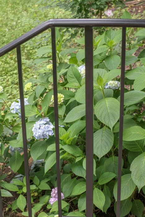 A hydrangea viewed through a black metal railing.