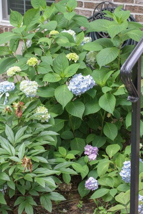 A hydrangea bush with blue flowers.
