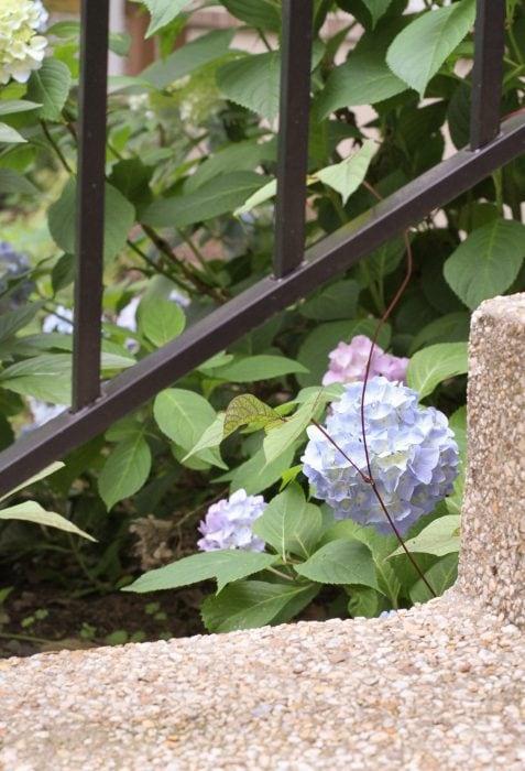 A blue hydrangea bloom.