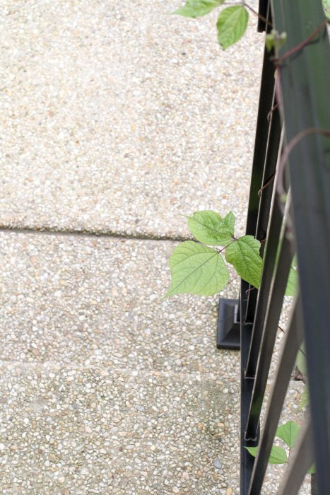 A bean leaf peeking through a railing.