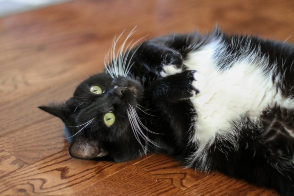 tuxedo cat eyes