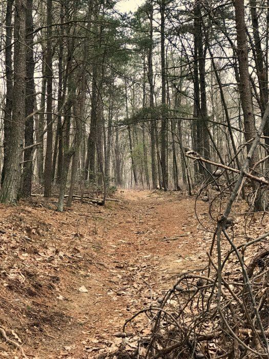 pine trees woods
