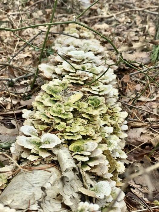shelf lichen