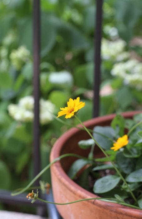 yellow perennial
