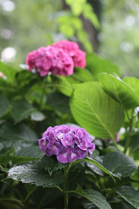 purple and pink hydrangea blooms