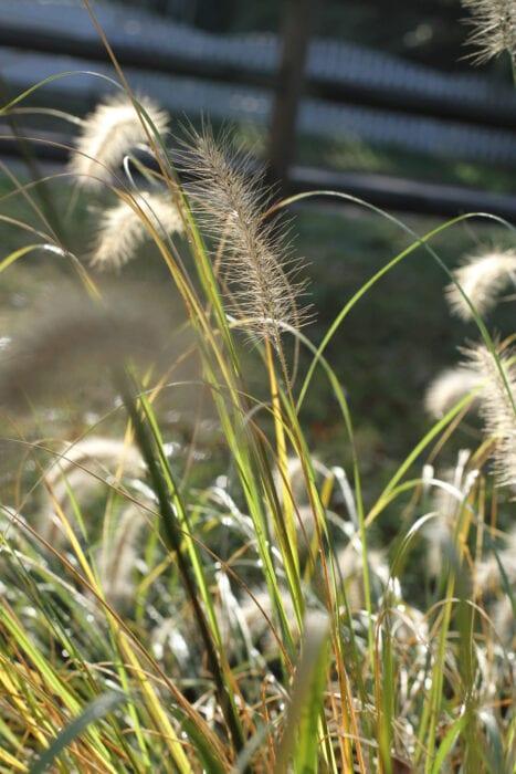 grass in morning sun