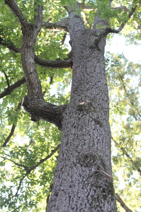 trimmed oak tree