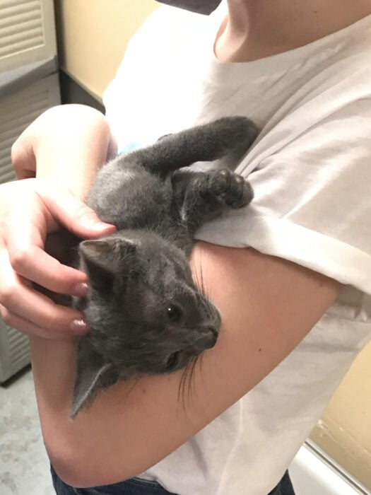 gray kitten from the cat rescue