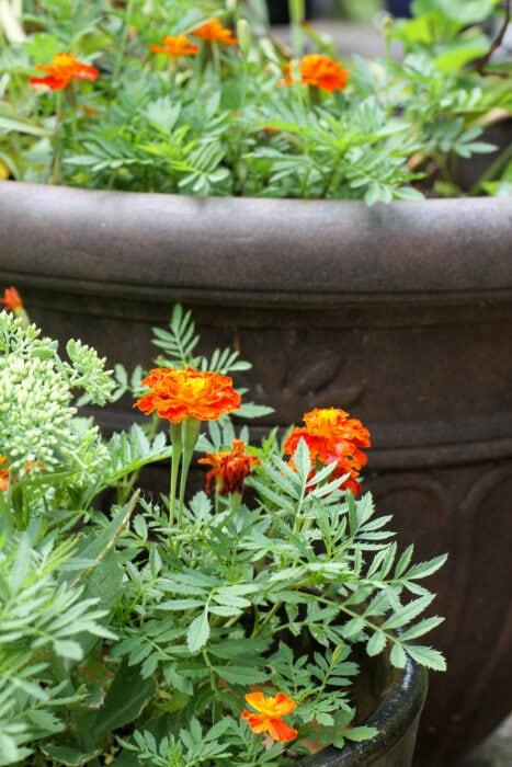 red and orange marigolds
