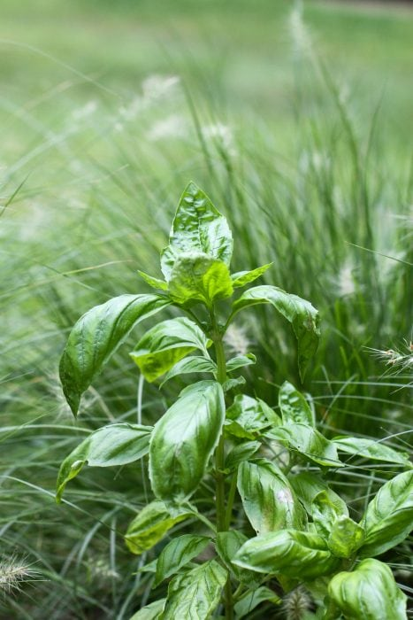 basil plant in a landscaping bed.