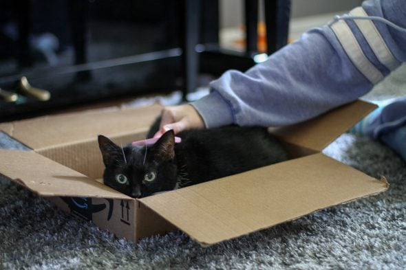 cat being brushed while sitting in a box