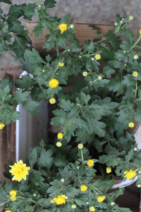 yellow heirloom mum