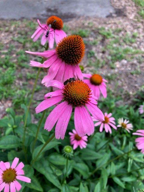 Pink medicinal coneflowers.
