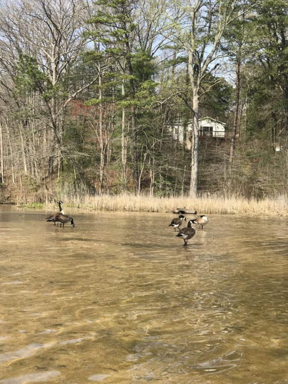 Canadian geese on a river sandbar.