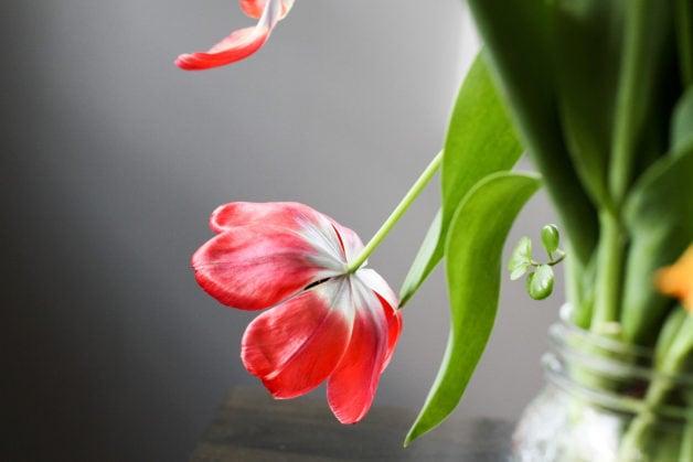 Red tulip, facing downward.