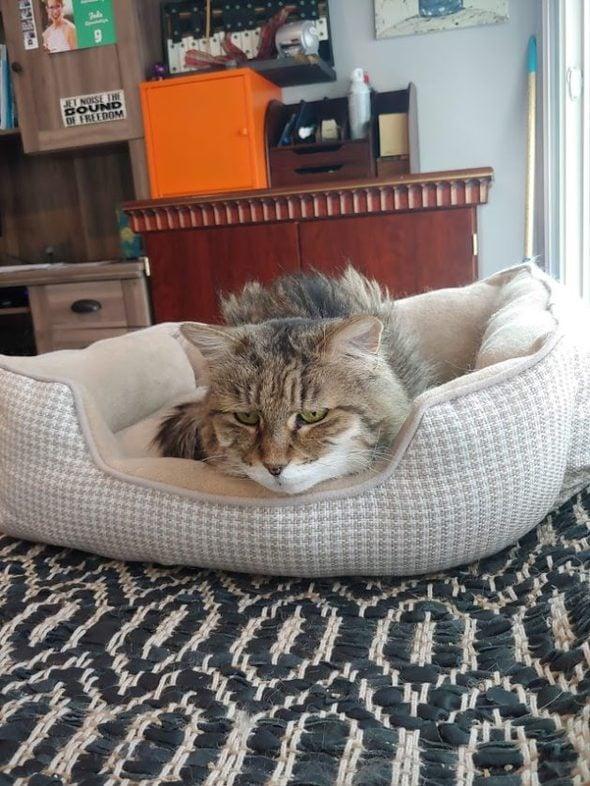 A grumpy-looking cat in a beige cat bed.