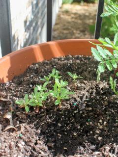 Marigold seedlings in a terracotta pot.