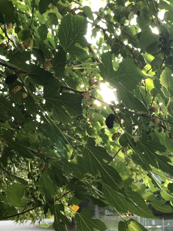 A ripe mulberry on a tree.