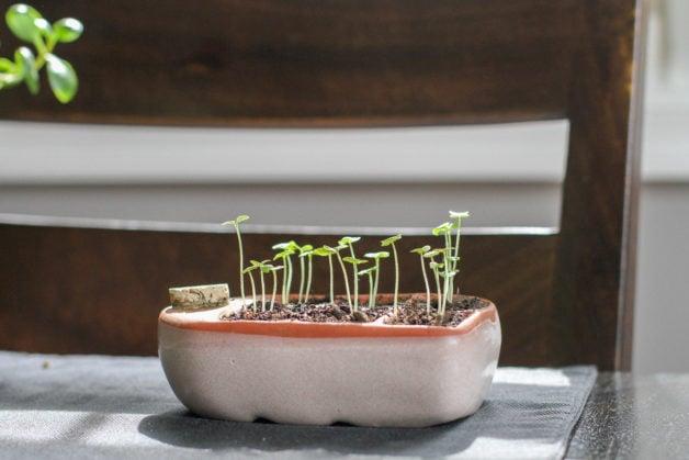Orta pod starter with basil seedlings.