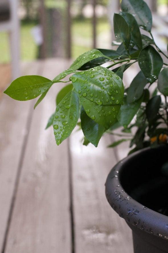 Raindrops on an orange tree leaf.