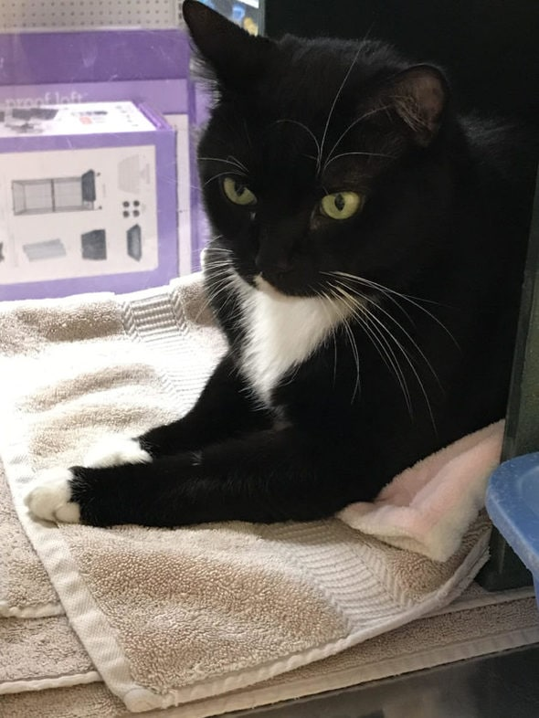 A big black and white male tuxedo cat.